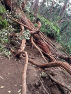 Tons of trees down on the trail. They were fun to climb over.