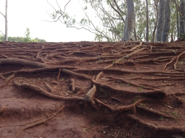 So many tree roots everywhere.