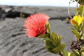 Lehua Blossom. The start of an 'Ohi'a tree.