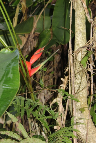 Heliconia..they were growing everywhere along the way to Hana.