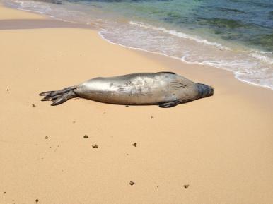 Hawaiian Monk Seal 1