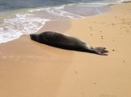 Hawaiian Monk Seal 2