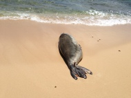 Hawaiian Monk Seal 3