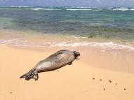 Hawaiian Monk Seal 5