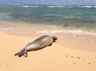 Hawaiian Monk Seal 5