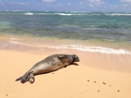 Hawaiian Monk Seal 6