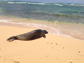 Hawaiian Monk Seal 7