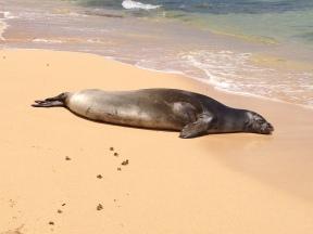 Hawaiian Monk Seal 8