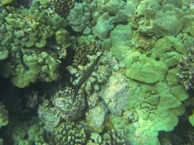 Trumpetfish. Amazing!