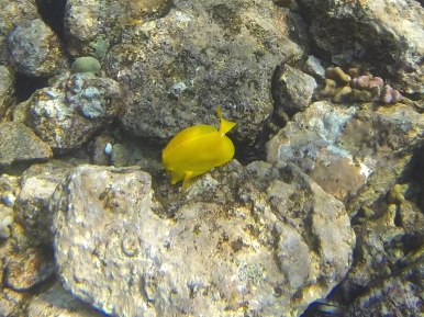 Yellow Tang up close and personal.