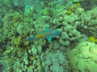 More of the Parrotfish.