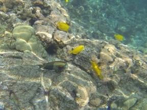 Orangeband Surgeonfish.