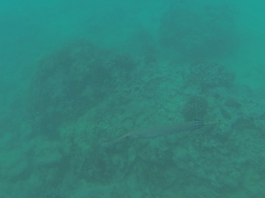 More trumpetfish. They were everywhere.