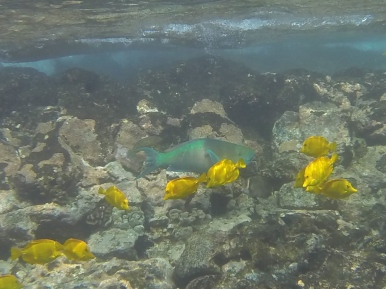 Parrotfish and yellow tangs.