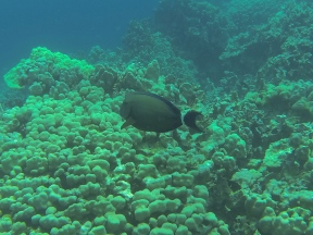 Black Surgeonfish.