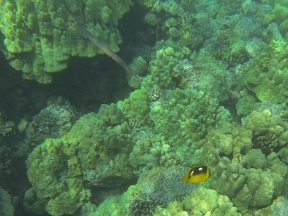 Trumpetfish and Fourspot Butterfly fish.