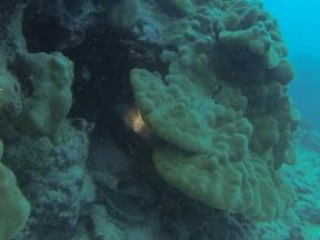 Big pufferfish hiding.