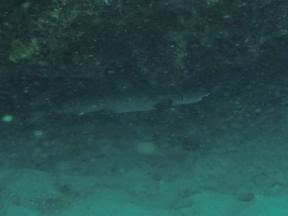 Whitetip reef shark!