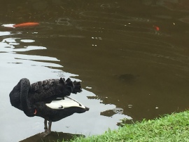 Black swan, turtle and koi all in one shot.