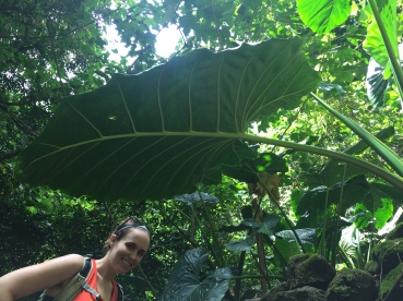 GIANT taro leaf