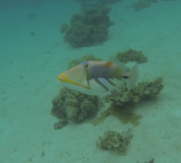 Triggerfish who constantly protected her nest by attacking us as we got in the water.