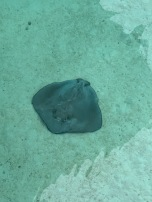 This stingray seems to be missing it's tail :(.